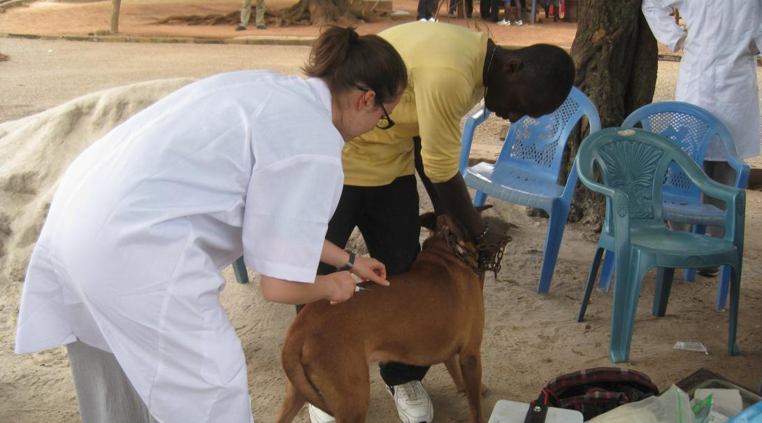 A Projects Abroad volunteer doing a veterinary medicine internship in Ghana applies a vaccine to a dog.